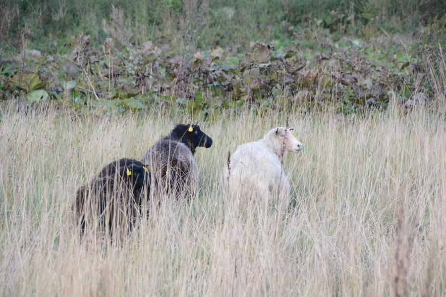 """I fredags flyttede nogle af de første """"beboere"""" ind på Torpegård. De første får, som nu går og hygger sig på en helt ny fårefold. Foto: Palle Søby"""